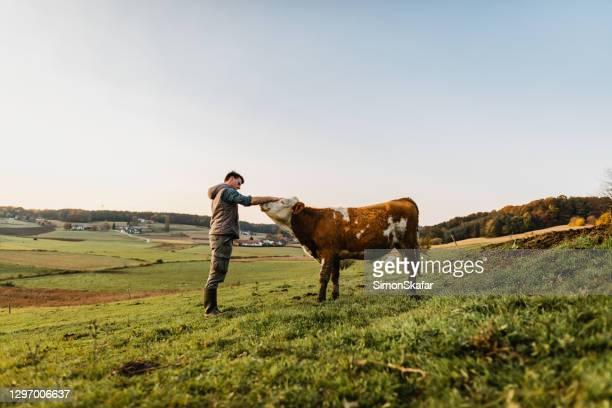 jonge mens die zich bevindt die koe aait - one animal stockfoto's en -beelden
