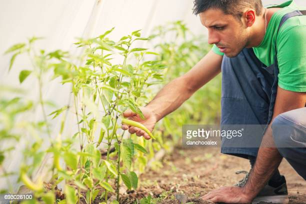 Young man taking care of hot peppers in green house