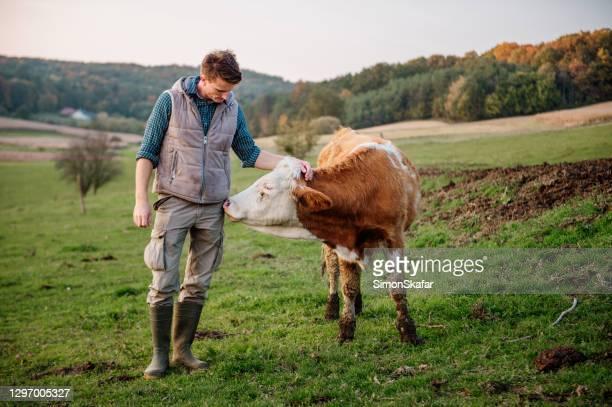 joven tocando vaca en el campo - ganado mamífero ungulado fotografías e imágenes de stock