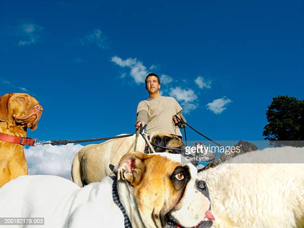 Young man walking group of dogs on leads, low angle view