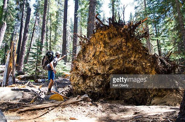 a young man walks by remnants of a powerful windstorm along the john muir trail in tuolumne meadows, california. - john muir trail stock photos and pictures