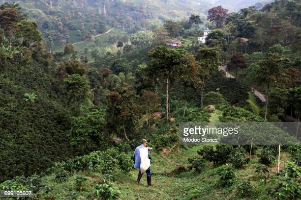 A young man walks down a ridge on a rural coffee farm in Colombia after harvesting beans for export.