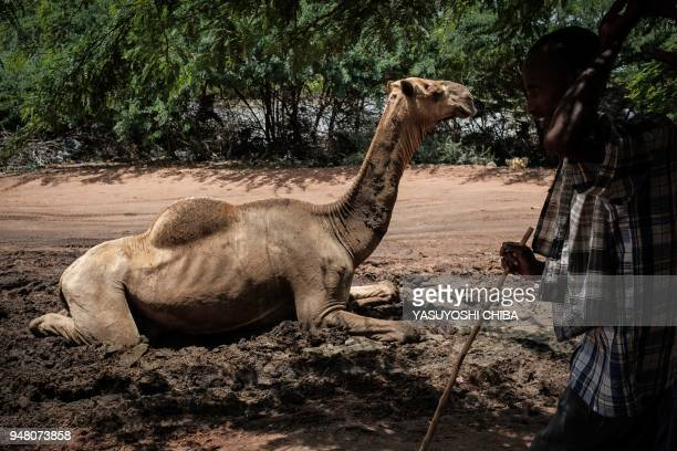 Young man walks past a camel resting in the mud near the camel market at Dadaab refugee complex, the northeast of Kenya, on April 18, 2018. The...