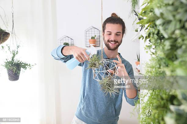 young man watering air plants in geometric pendant - spanish moss stock pictures, royalty-free photos & images