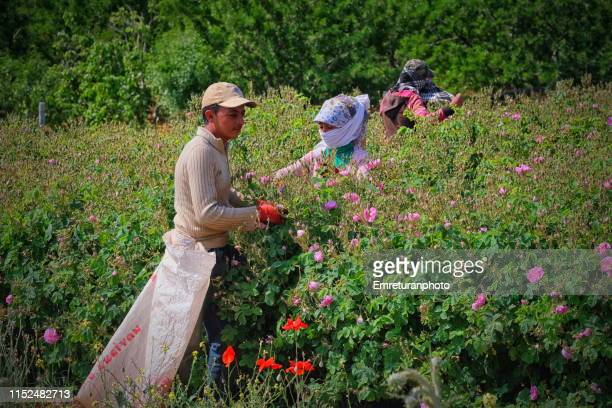 young man working at rose harvest in i̇sparta province. - emreturanphoto stock pictures, royalty-free photos & images