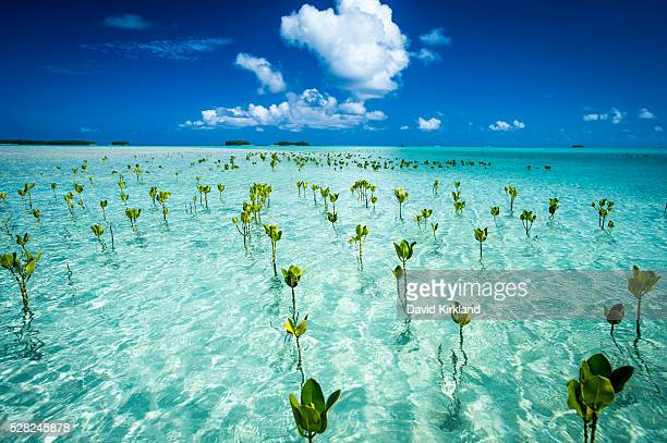 Young mangroves form part of the marine park, near the Tuvalu mainland; Tuvalu