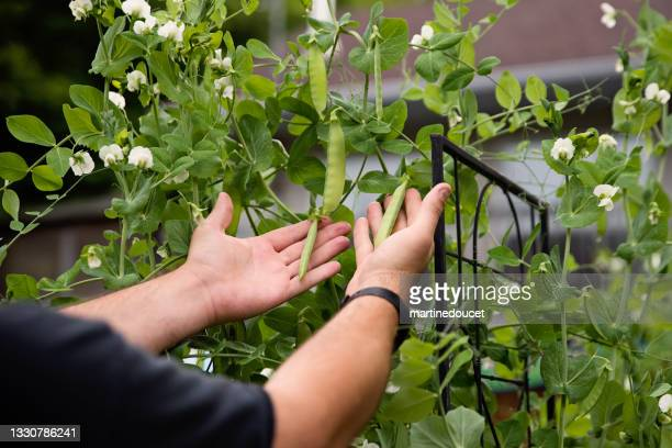 """young man's hands harvesting sweetpeas in permaculture garden. - """"martine doucet"""" or martinedoucet stock pictures, royalty-free photos & images"""