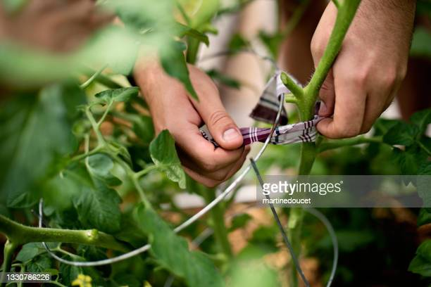 """young man's hands working in permaculture garden. - """"martine doucet"""" or martinedoucet stock pictures, royalty-free photos & images"""