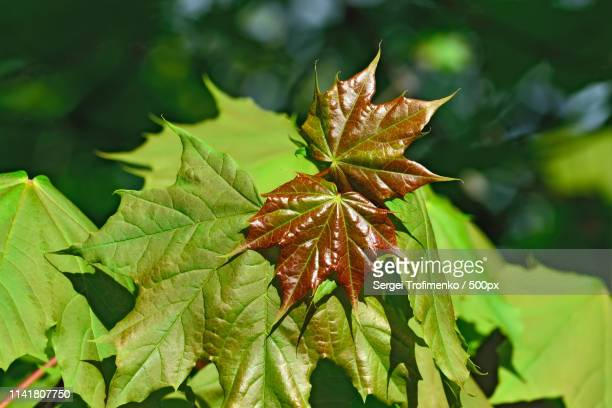 young maple leaves closeup - sergei stock pictures, royalty-free photos & images