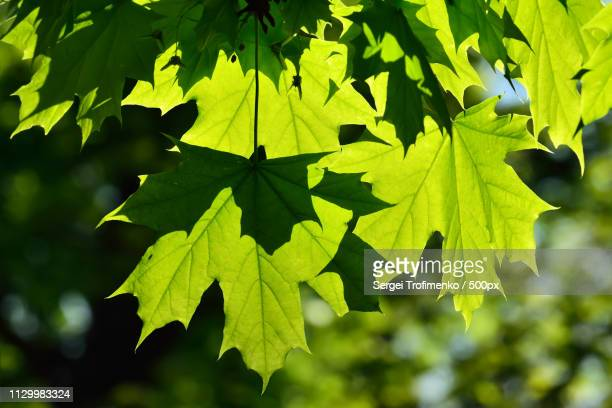 young maple leaves - sergei stock pictures, royalty-free photos & images
