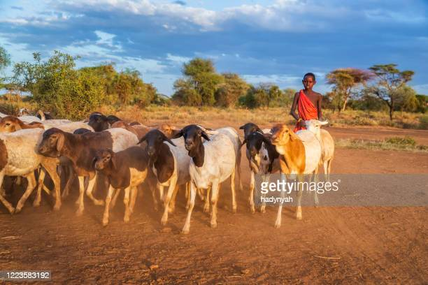 young masai boy hearding goats, kenya, africa - east african tribe stock pictures, royalty-free photos & images