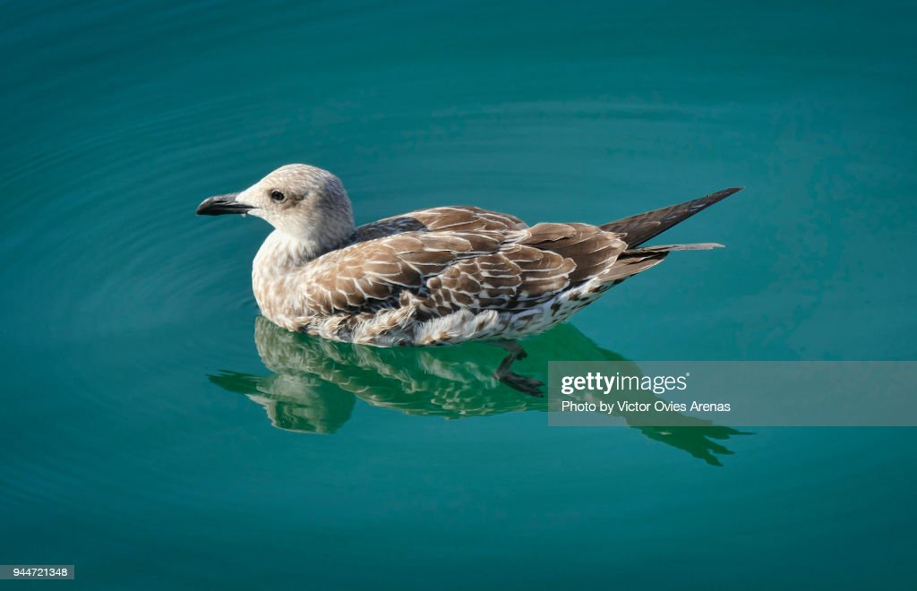 Young Mediterranean Seagull Floating on Water : Foto de stock