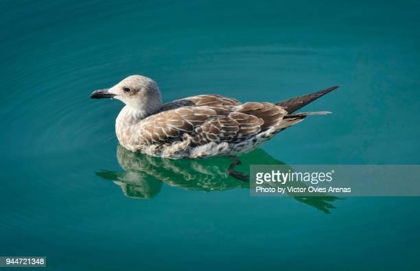 young mediterranean seagull floating on water - victor ovies fotografías e imágenes de stock