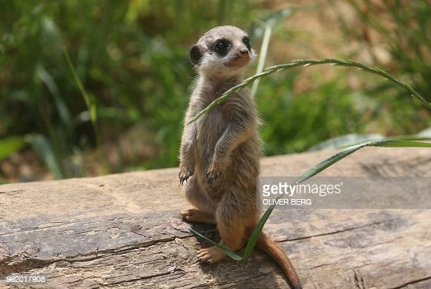 A young meerkat inspects its enclosure at the zoo in Cologne western Germany on May 24 2018 / Germany OUT