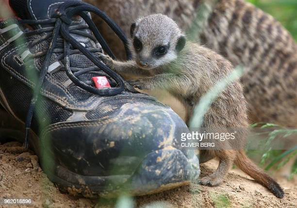 A young meerkat inspects the shoe of its keeper at the zoo in Cologne western Germany on May 24 2018 / Germany OUT