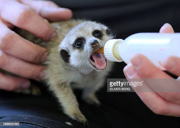 A young meerkat is fed by a zoo keeper in the zoo in Aachen western Germany on June 4 2013 The young meerkats are raised by the zoo keeper as their...