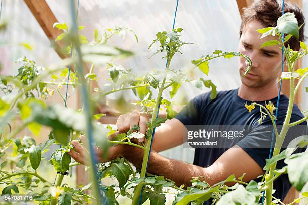 Young men adult pinch and remove suckers on tomato plant