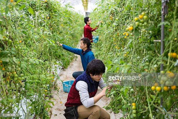 3 young men picking tomatoes in a greenhouse