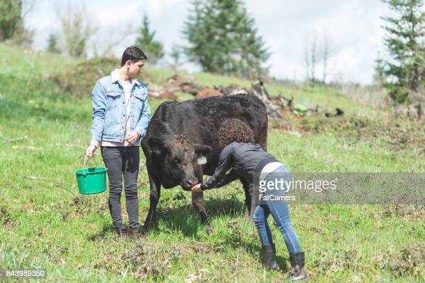 Young mixed race couple feed their cows out in the pasture on a warm summer day