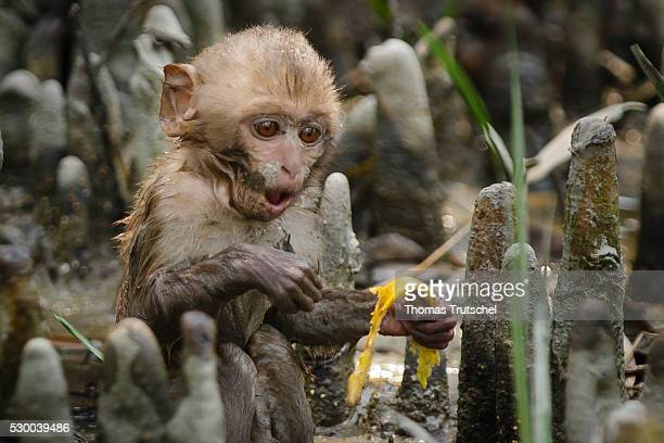 A young monkey sitting in Caramel Ecotourism Centre on the floor and eating a slice of banana on April 12 2016 in Mongla Bangladesh