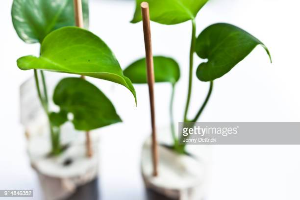 Young Monstera plants