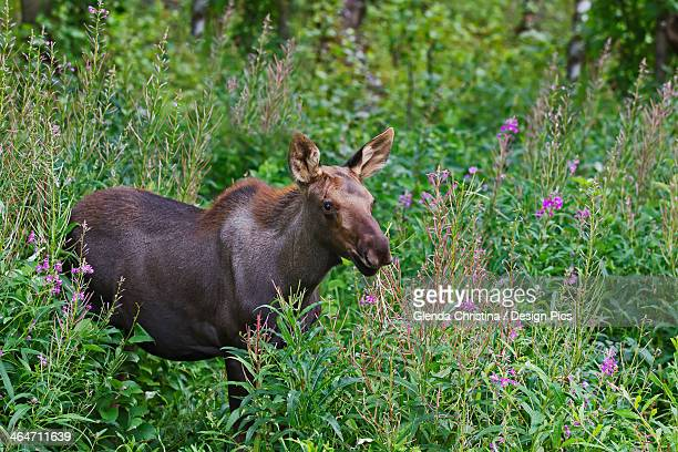 a young moose (alces alces) calf in some spent fireweed - christina grosse stock-fotos und bilder