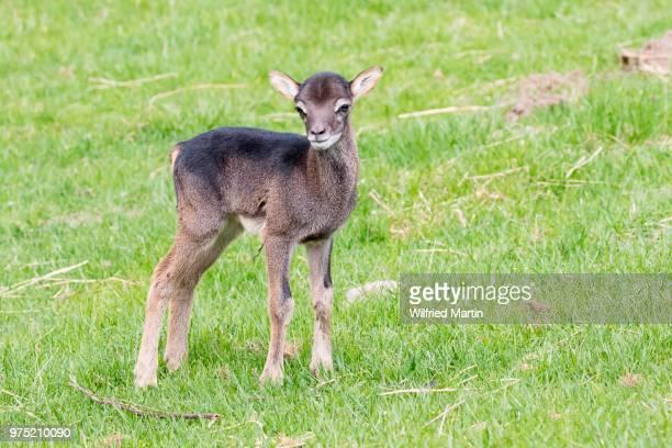 Young mouflon (Ovis orientalis), Masuria, Poland