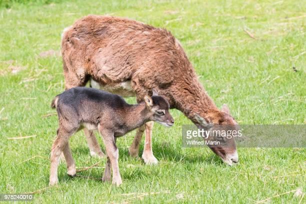 Young mouflon (Ovis orientalis) with mother, Masuria, Poland
