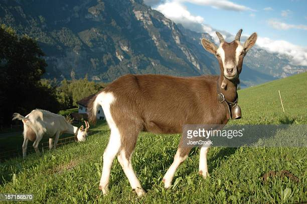 Young Mountain Goat with bell Switzerland Suisse Swiss