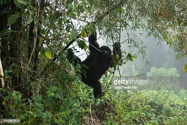 Jeune Gorille des montagnes suspendue sur un tronc en bambou Rwanda