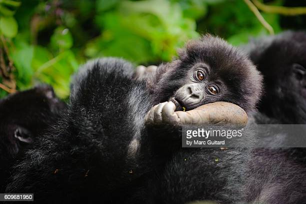 A young mountain gorilla (Gorilla beringei beringei) resting his head on the foot of a family member in Volcanoes National Park, Rwanda.