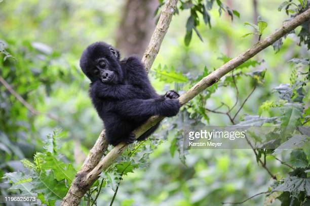young mountain gorilla sitting on a branch - young animal stock pictures, royalty-free photos & images