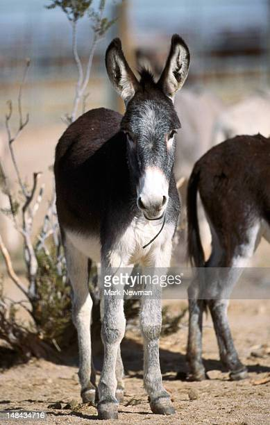 Young mule at wild horse and burro adoption facility.