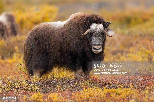 young musk ox at eye level - musk ox stock photos and pictures