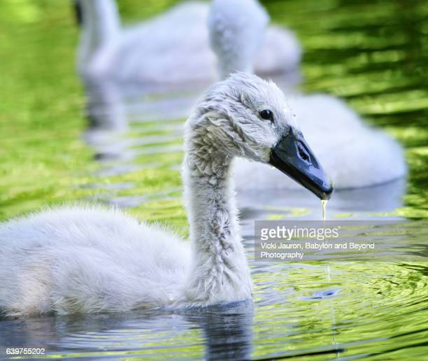 young mute swan cygnet, showing stage of growth - ugly duckling stock photos and pictures