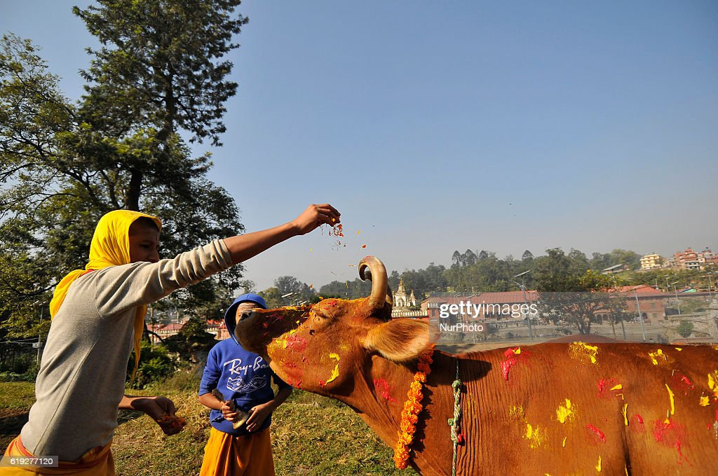 Young Nepalese hindu priest offering flower on a cow during Cow Festival as the procession of Tihar or Deepawali and Diwali celebrations at Kathmandu, Nepal on Sunday, October 30, 2016. Tihar is a hindu festival celebrated in Nepal for 5 days. Cows are considered to be the incarnation of the Hindu god of wealth, Lord Laxmi. Nepalese devotees decorate the cows with marigold flower garlands and colored powders and offer the cows fresh fruits and vegetables.
