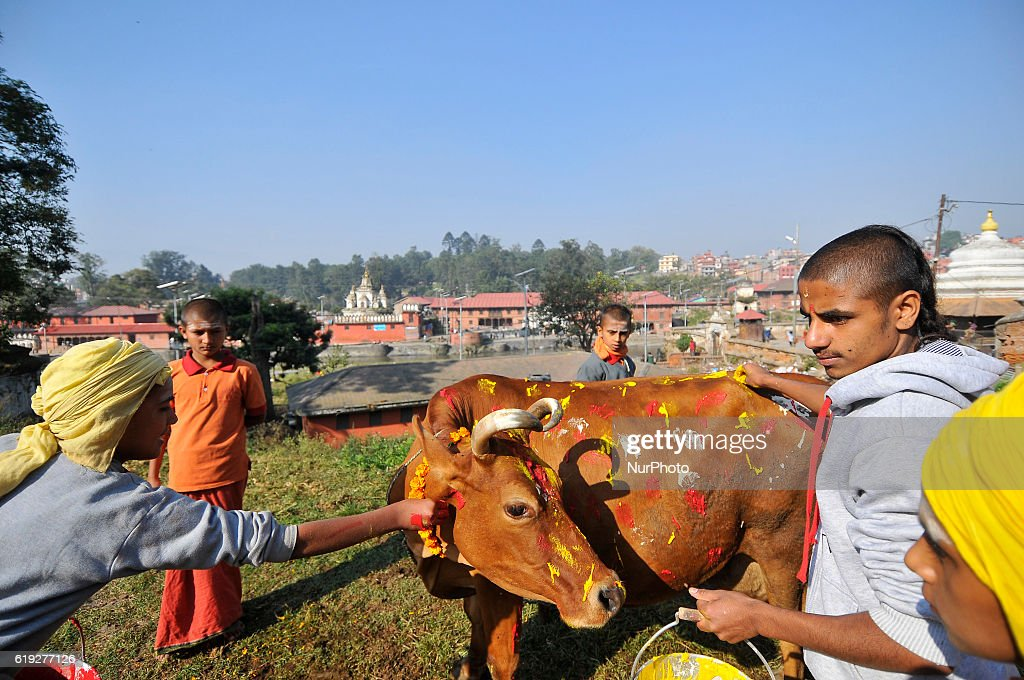 Young Nepalese hindu priest worshiping a cow during Cow Festival as the procession of Tihar or Deepawali and Diwali celebrations at Kathmandu, Nepal on Sunday, October 30, 2016. Tihar is a hindu festival celebrated in Nepal for 5 days. Cows are considered to be the incarnation of the Hindu god of wealth, Lord Laxmi. Nepalese devotees decorate the cows with marigold flower garlands and colored powders and offer the cows fresh fruits and vegetables.