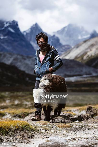 A young Nepalese male walks with a baby yak which a injured leg they walked with it to another village where it will be cared for until it's better...