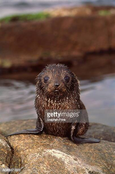 young new zealand fur seal (arctocephalus forsteri) on rock - seal pup stock photos and pictures