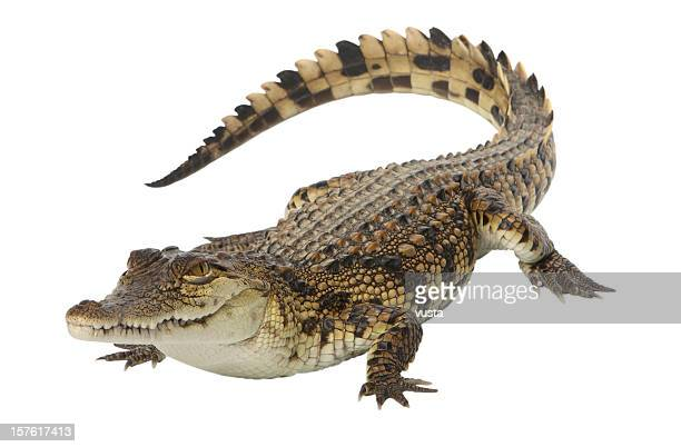 young nile crocodile - crocodile stock pictures, royalty-free photos & images