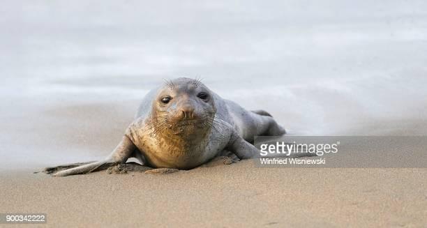 Young Northern Elephant Seal (Mirounga angustirostris) goes ashore, beach of San Simeon, Piedras Blancas Colony, California, USA