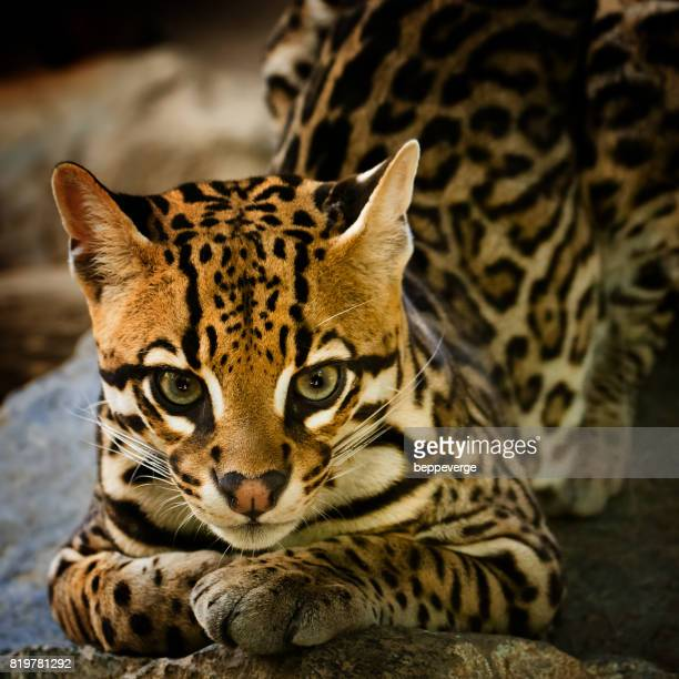 young ocelot - striato stock pictures, royalty-free photos & images