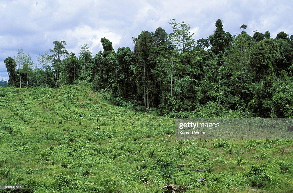 Young oil palm plantation (Elaeis) in front of rainforest, rainforest destruction, Sabah, Borneo, Southeast Asia : Stock Photo