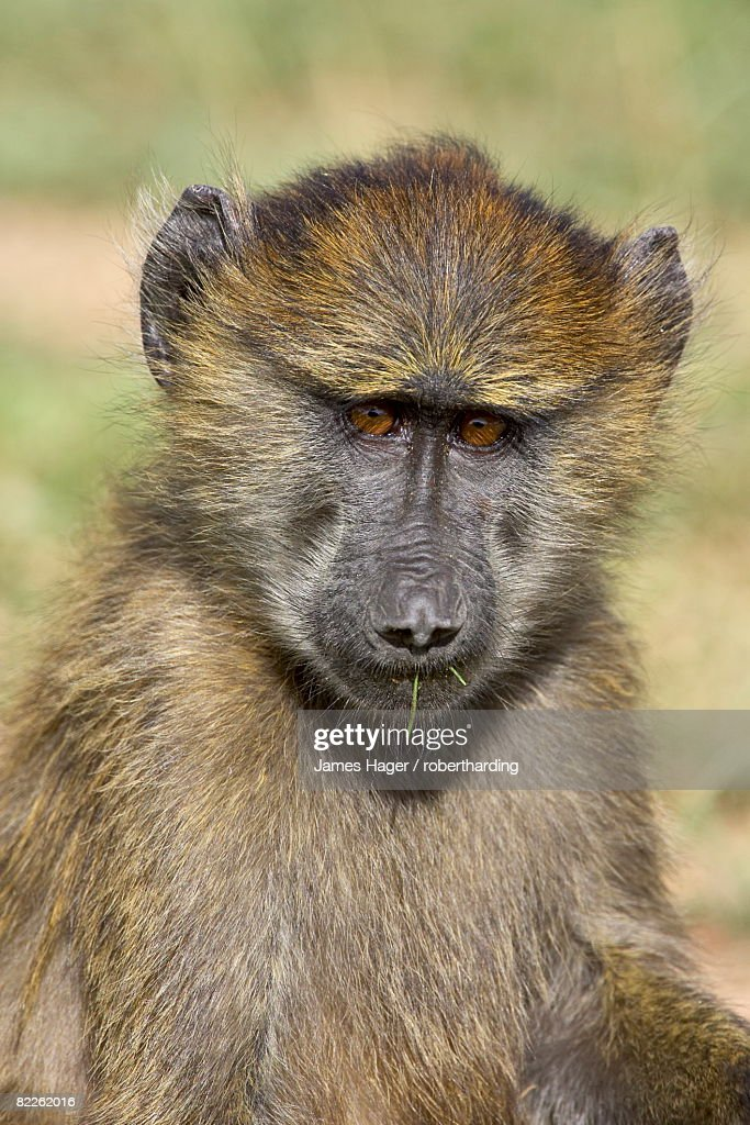 Young olive baboon (Papio cynocephalus anubis), Serengeti National Park, Tanzania, East Africa, Africa : Stock Photo