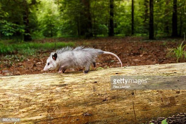 young opossum walking on a fallen tree in a forest - opossum stock pictures, royalty-free photos & images