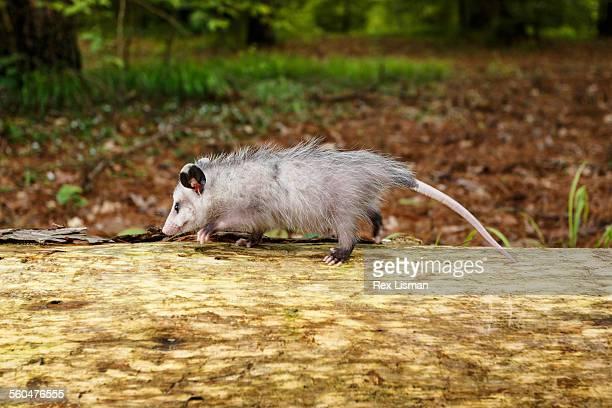 young opossum walking on a fallen tree in a forest - opossum americano foto e immagini stock