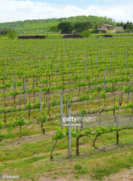 Young or early vineyard with house or villa plus firewood stacks behind