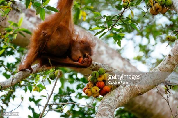 Young Orang Utan feeding on fig.