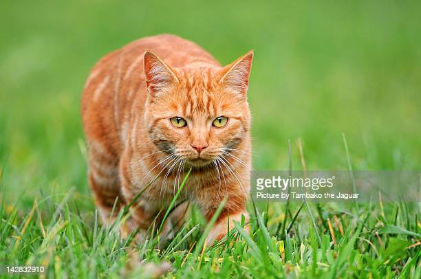 Young orange tomcat stalking in grass