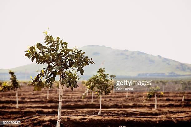 Young orange trees growing in a field